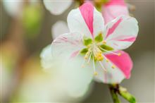 桃も咲きました。