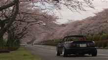 桜ドライブ~♪