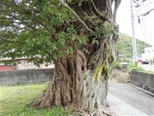 和歌山の巨木を巡る、その1 アコウの巨木