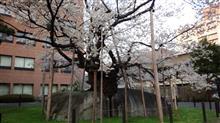 石割桜満開
