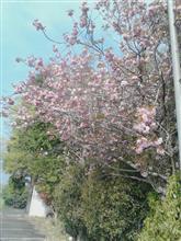 そろそろ桜も