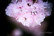 武蔵野の森公園で名残りの里桜を