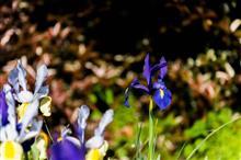 庭のアイリス撮り比べ
