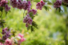 最後の桜 2015年4月25日