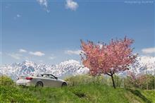 野平の名もなき八重桜