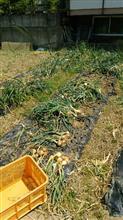 玉ねぎ収穫中