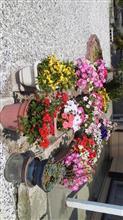 冬の花・「パンジー」と、夏の花・「ペチュニア」の、競演・・・・ ♪