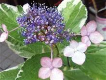 †∴†斑入り額紫陽花†∴†