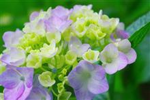 紫陽花狩り(^_^)?