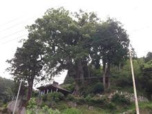 巨樹。訪問。。。寺野の大クス。。。岡崎市夏山町。。。