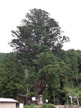 巨樹。訪問。。。夏山の大スギ。。。岡崎市夏山町。。。