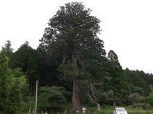 巨樹。訪問。。。切山の大スギ。。。岡崎市切山町。。。