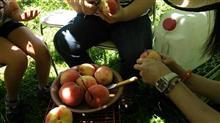 サクランボ狩りに行って桃狩り。