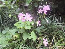 雨に咲く花(またかよ)