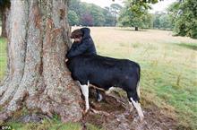 モー大変!牛が木に頭を突っ込み抜けなくなる!→更に衝撃的な展開が!