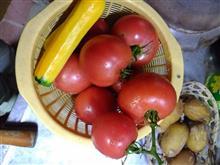 トマト収穫しました。