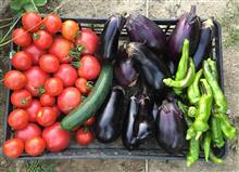 夏野菜収獲中。