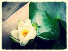 おっ、蓮の花が咲きそう