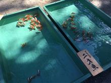 四尾の地金保存会  平成27年度品評会  二歳魚の部