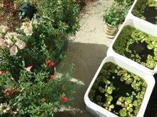 庭のメダカと寄せ植えのその後。