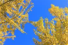 秋探し~黄葉の銀杏並木