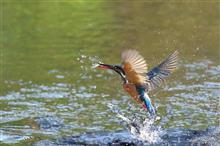11月1日と7日のN川カワセミ・その他野鳥