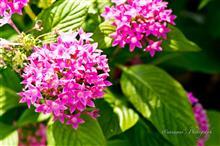 Apo Sonnarで撮る秋の花たち②