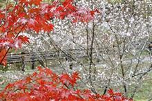 秋を感じに…豊田「四季桜の里」