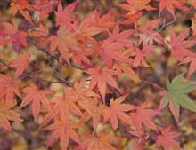 京都の紅葉は日本一ですね~
