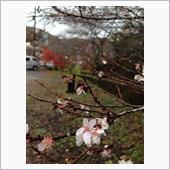 豊田市小原の四季桜、見れまし ...