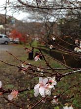 豊田市小原の四季桜、見れました!