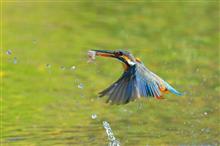今年の鳥撮り納めは、やっぱりN川のカワセミ♪