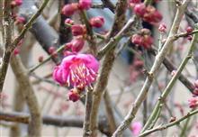 庭の梅が咲きました。そろそろ冬のオフ会(新年会)の日程を確定したいと思います。