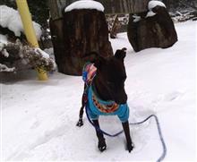 ネットを閲覧中、「雪が降ると犬は喜んで庭を駆け回る。しかし、あれは喜んでいるのではないという噂を聞いた。自分の臭いかほかの臭いかが解らなくなって困っているらしい」と書いたのがあった