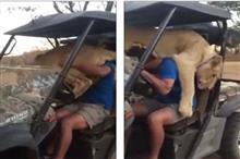 構って!ライオンも猫のように人間様の作業の邪魔をすることが判明!
