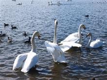 白鳥渡来地の伊豆沼へ