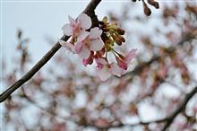 3日連続「Studie横浜」からの三浦半島河津桜ヽ(´▽`)/