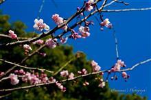 河津桜が彩る新宿御苑の早春