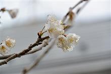 家の早咲桜!春のドライブ季節はすぐそこ!(^-^)/