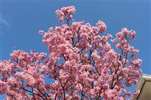 我が家の桜は満開です