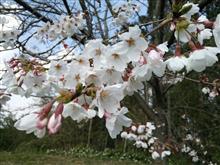 お腹一杯なので桜を観ながらお散歩なう(笑)