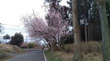 柴犬大吉とお花見。