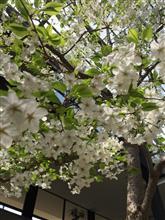 春だね(ˊo̶̶̷ᴗo̶̶̷`)੭✧