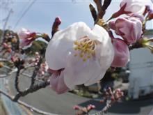 桜!(ノ´▽`)ノオオオオッ♪