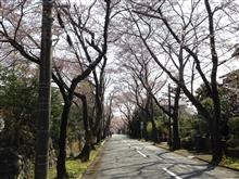伊豆高原の桜のトンネルはまだかなって感じ