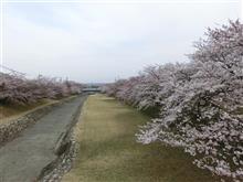 春ウララ~♪ 桜だより パート1