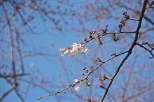 伊豆半島 桜情報
