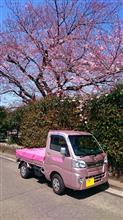 蒔田野桜と