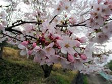 春が来ましたねぇ