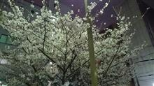 週末は桜が満開かな!休日出勤決定です(  ;∀;)